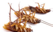 травить тараканов, травля тараканов из квартиры, как избавиться от тараканов навсегда, избавление от тараканов