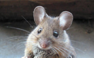 методы выведения мышей из дома, как вывести мышей из дома