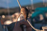 Эффективное выведение крыс, как вывести крыс, эффективные методы выведения крыс