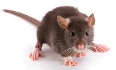 уничтожение грызунов в доме; уничтожить грызунов; уничтожить крыс в москве; методы уничтожения крыс; методы уничтожения грызунов