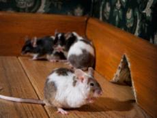 уничтожение крыс; уничтожить крыс в москве; методы уничтожения крыс; уничтожение грызунов в доме; уничтожить грызунов